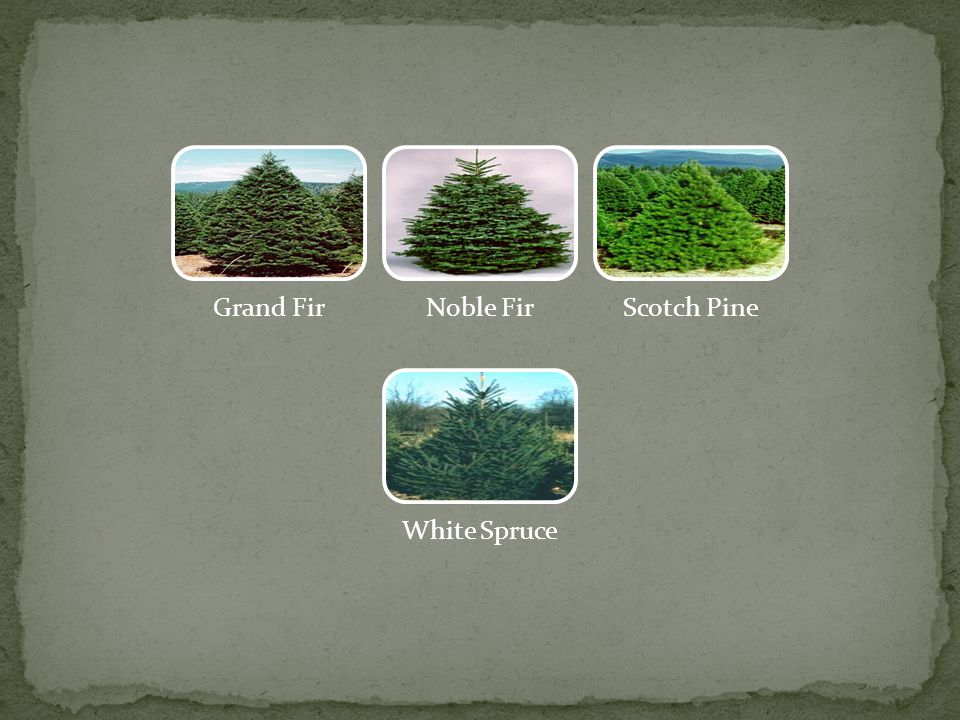 Balsam FirCanaan FirDouglas Fir Eastern White Pine