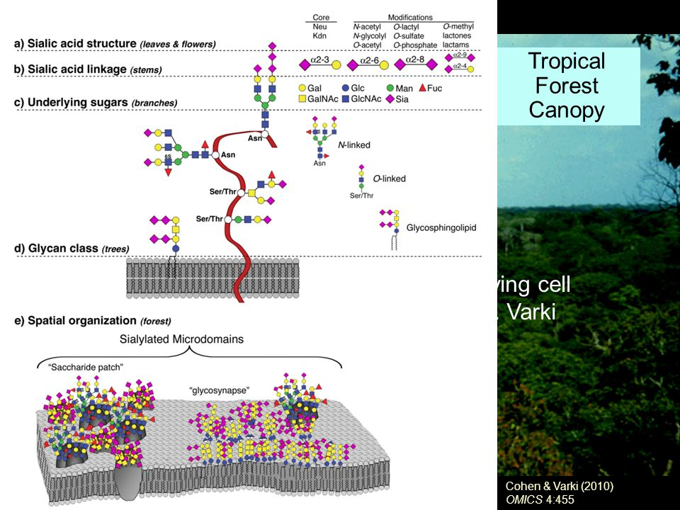 Tropical Forest Canopy Cohen & Varki (2010) OMICS 4:455 Evolution has failed to generate a living cell devoid of surface glycosylation - A.