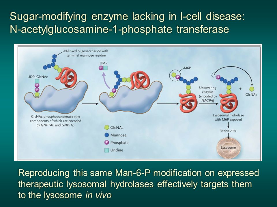 Sugar-modifying enzyme lacking in I-cell disease: N-acetylglucosamine-1-phosphate transferase Sugar-modifying enzyme lacking in I-cell disease: N-acetylglucosamine-1-phosphate transferase Reproducing this same Man-6-P modification on expressed therapeutic lysosomal hydrolases effectively targets them to the lysosome in vivo