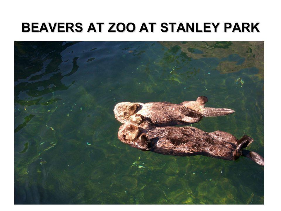 BEAVERS AT ZOO AT STANLEY PARK