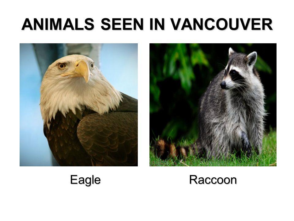 ANIMALS SEEN IN VANCOUVER EagleRaccoon