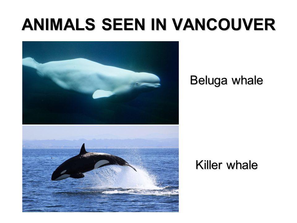 Beluga whale Killer whale