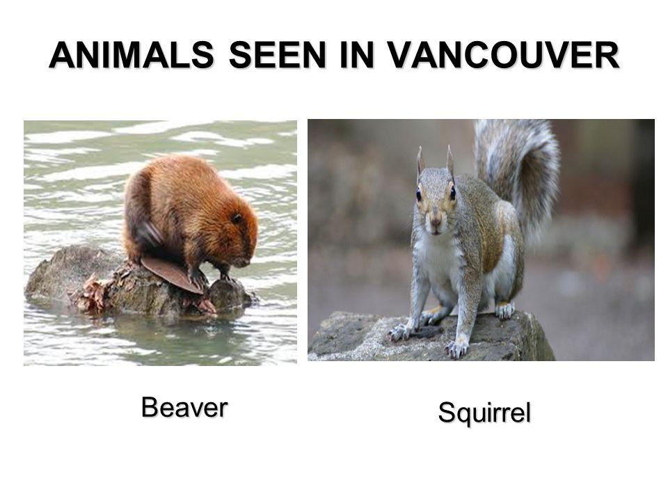 ANIMALS SEEN IN VANCOUVER Beaver Squirrel