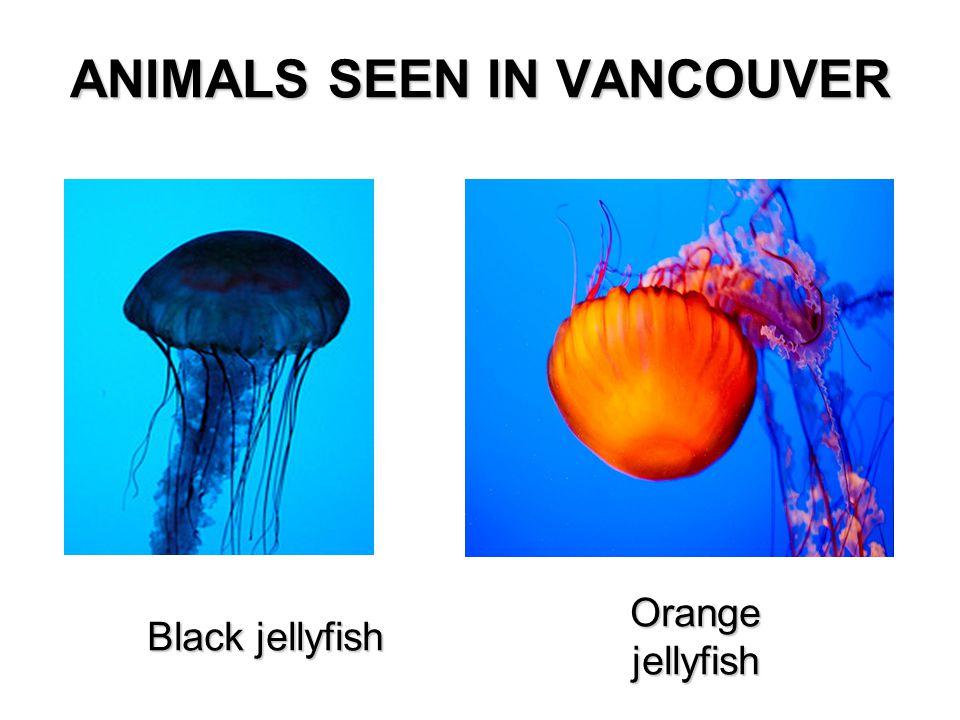 ANIMALS SEEN IN VANCOUVER Black jellyfish Orange jellyfish