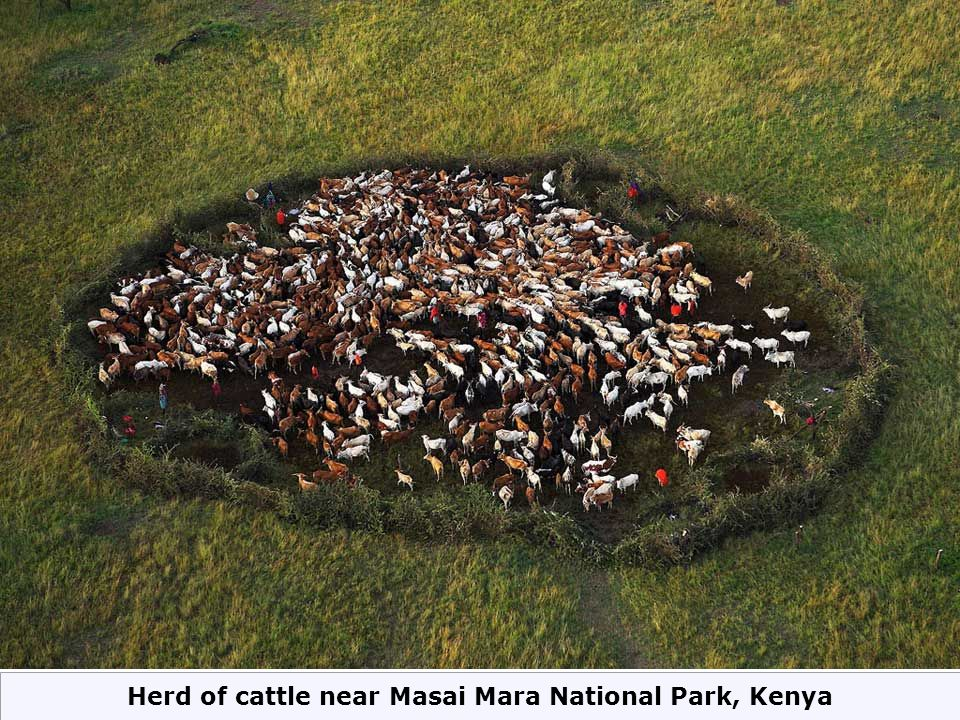 Herd of cattle near Masai Mara National Park, Kenya