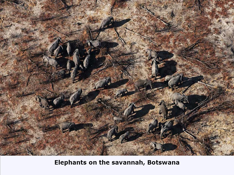 Elephants on the savannah, Botswana