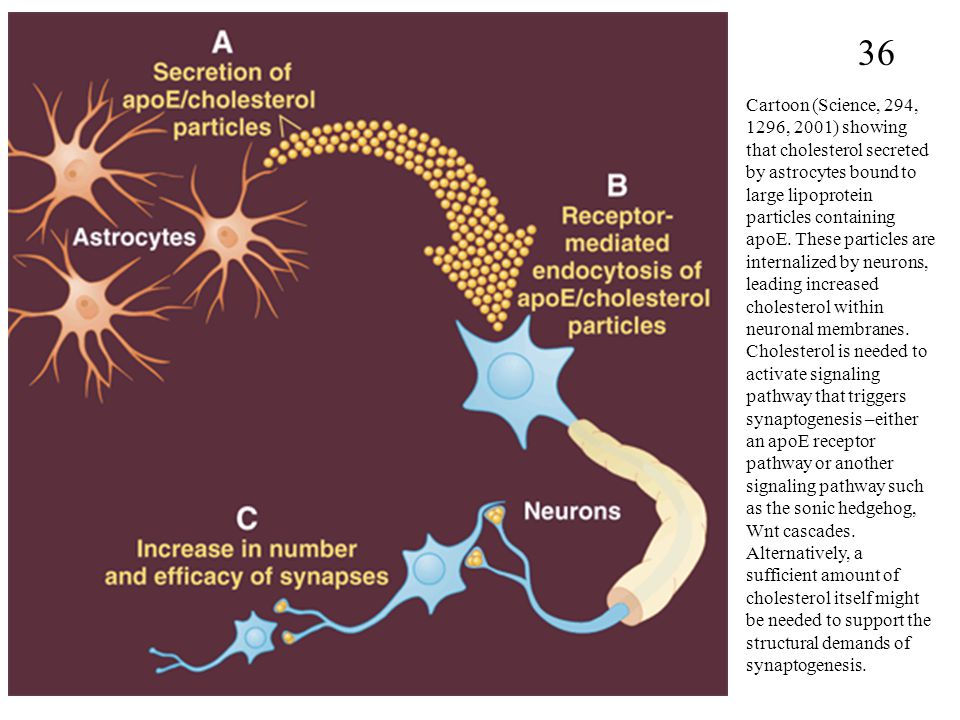 36 Cartoon (Science, 294, 1296, 2001) showing that cholesterol secreted by astrocytes bound to large lipoprotein particles containing apoE.