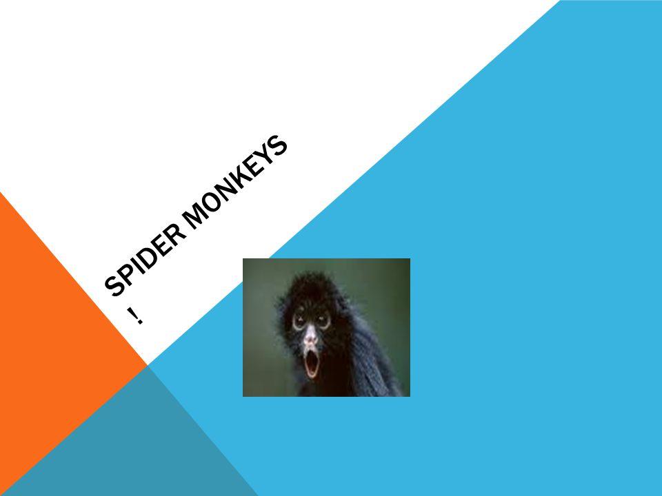SPIDER MONKEYS !