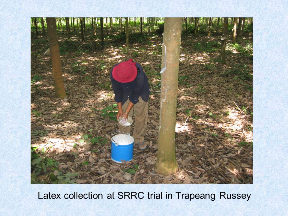 Latex collection at SRRC trial in Trapeang Russey