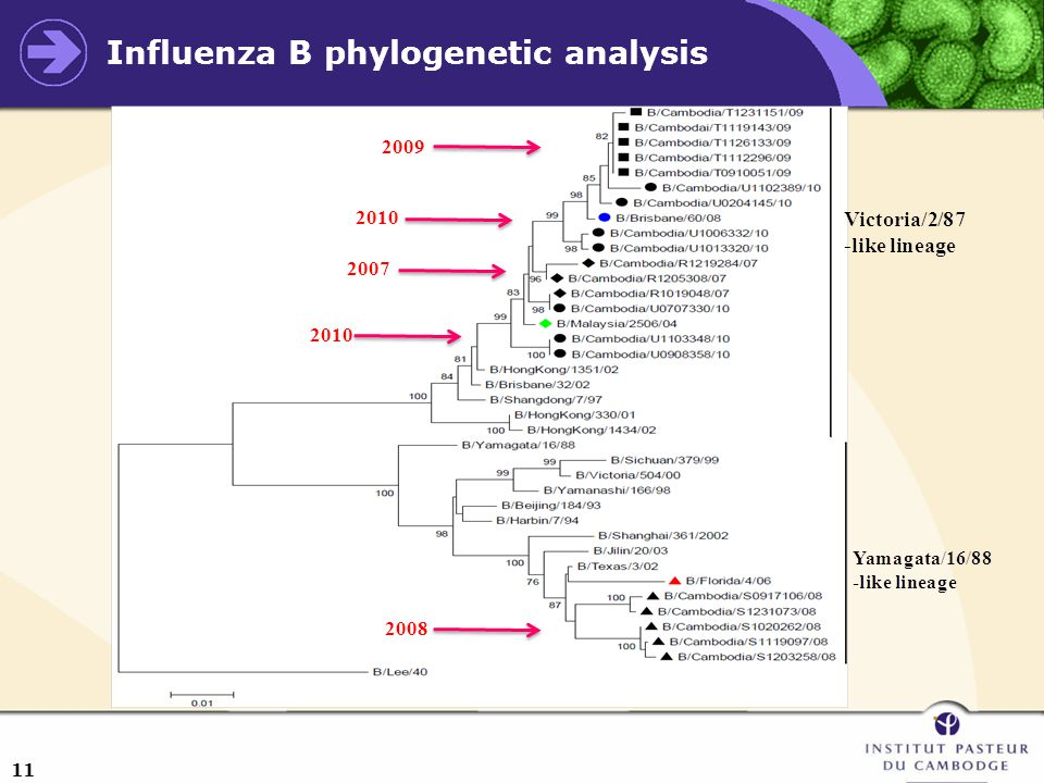 11 Influenza B phylogenetic analysis 2007 2010 2009 2008 2010