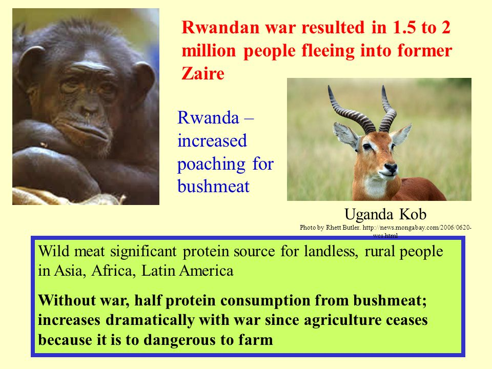 Rwanda – increased poaching for bushmeat Rwandan war resulted in 1.5 to 2 million people fleeing into former Zaire Wild meat significant protein sourc