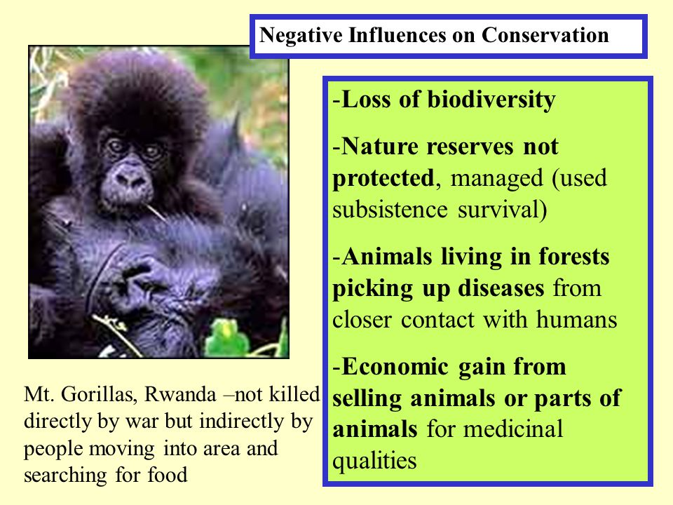 Mt. Gorillas, Rwanda –not killed directly by war but indirectly by people moving into area and searching for food -Loss of biodiversity -Nature reserv