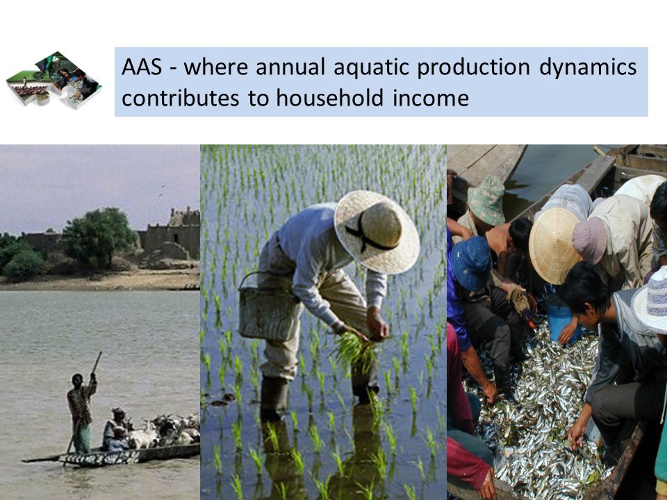 Aquatic agricultural systems AAS - where annual aquatic production dynamics contributes to household income