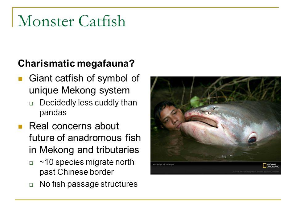 Monster Catfish Charismatic megafauna.