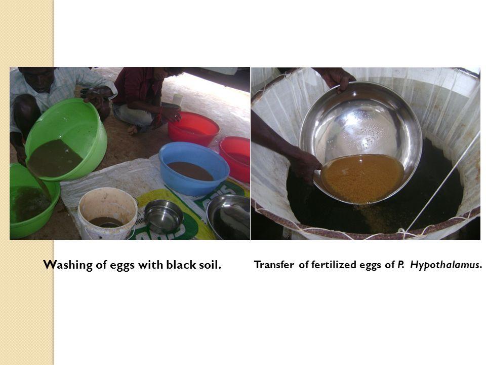 Washing of eggs with black soil. Transfer of fertilized eggs of P. Hypothalamus.