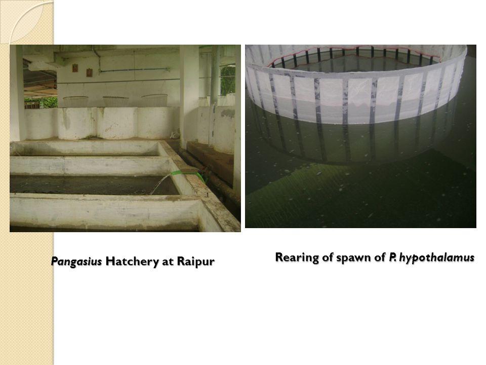 Rearing of spawn of P. hypothalamus Pangasius Hatchery at Raipur