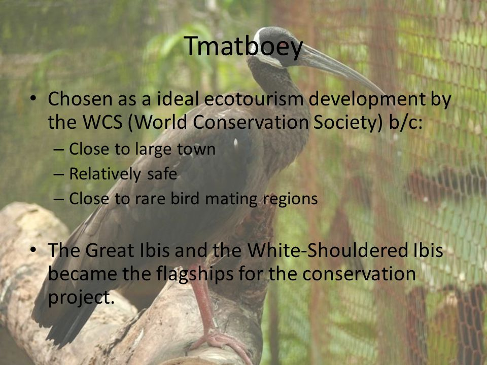 Tmatboey Chosen as a ideal ecotourism development by the WCS (World Conservation Society) b/c: – Close to large town – Relatively safe – Close to rare bird mating regions The Great Ibis and the White-Shouldered Ibis became the flagships for the conservation project.