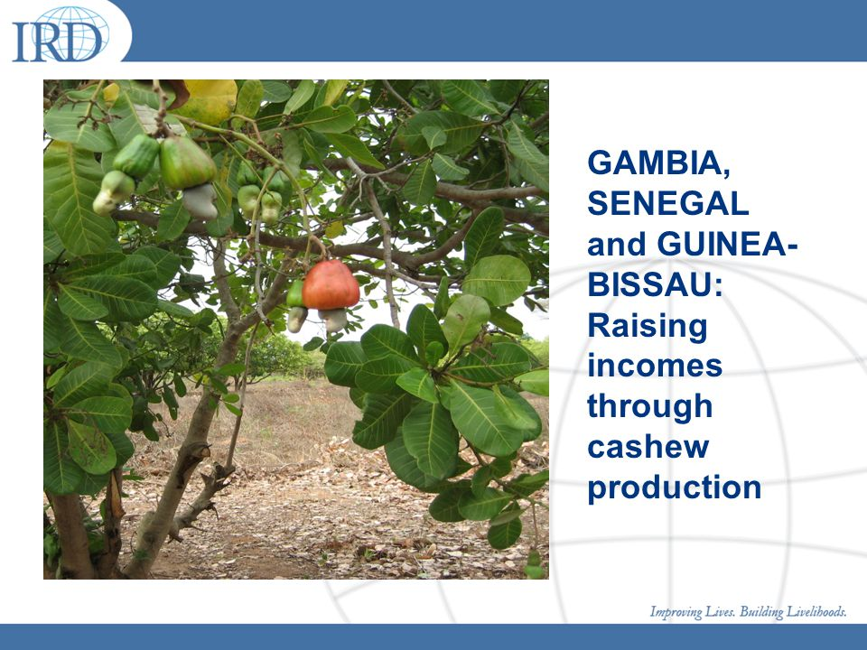 GAMBIA, SENEGAL and GUINEA- BISSAU: Raising incomes through cashew production