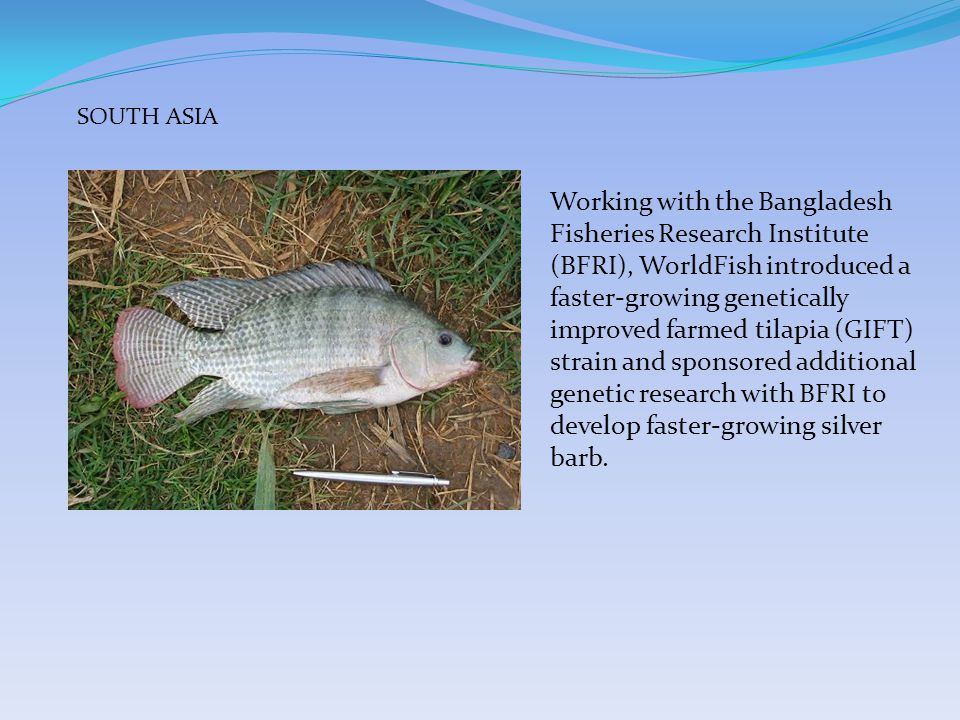 Working with the Bangladesh Fisheries Research Institute (BFRI), WorldFish introduced a faster-growing genetically improved farmed tilapia (GIFT) strain and sponsored additional genetic research with BFRI to develop faster-growing silver barb.