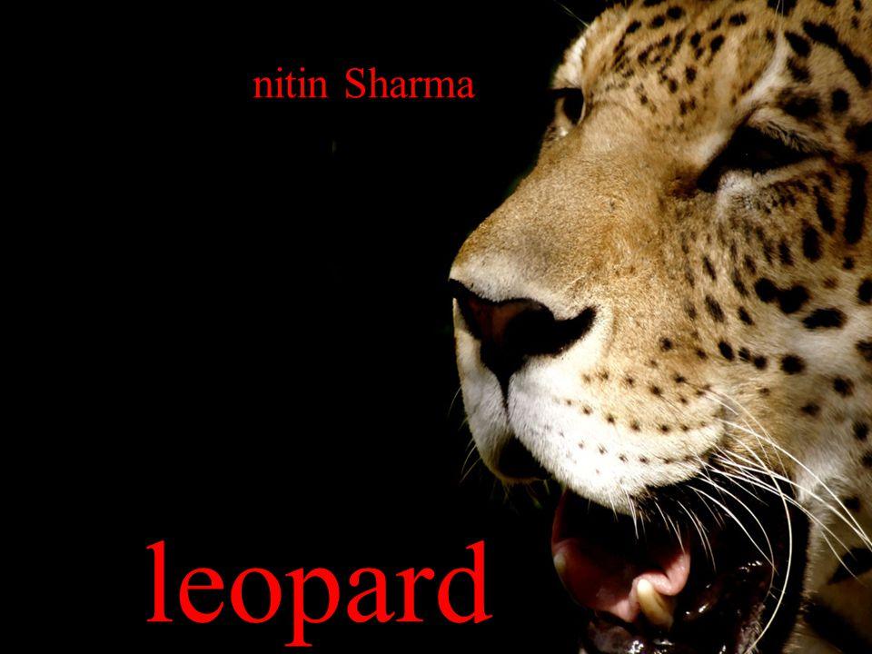 Leopard '''''''''''''''''''''''''''''' nitin Sharma leopard