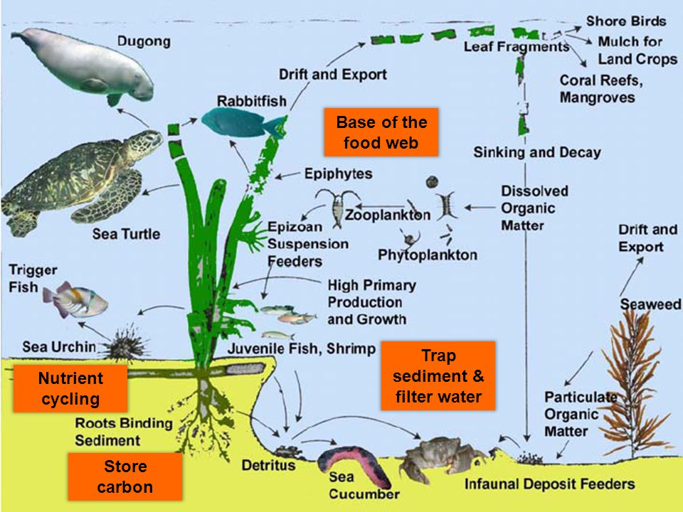 Base of the food web Store carbon Trap sediment & filter water Nutrient cycling