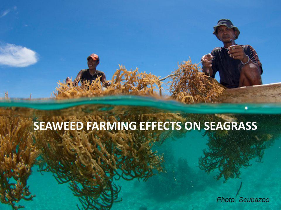 SEAWEED FARMING EFFECTS ON SEAGRASS Photo: Scubazoo