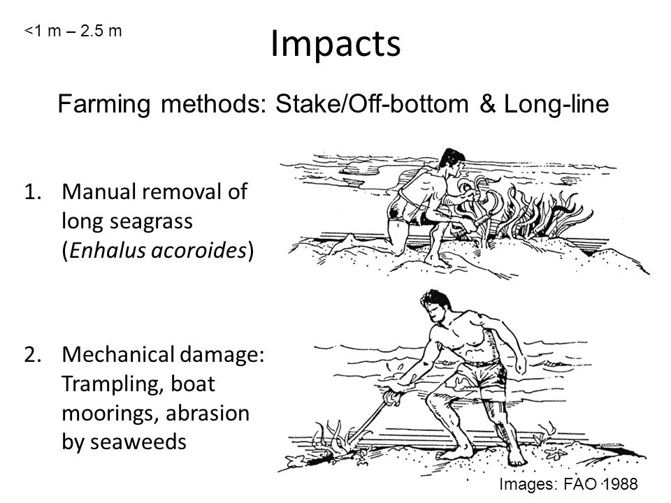 Impacts 1.Manual removal of long seagrass (Enhalus acoroides) 2.Mechanical damage: Trampling, boat moorings, abrasion by seaweeds Photo: Zanzibar Images: FAO 1988 Farming methods: Stake/Off-bottom & Long-line <1 m – 2.5 m