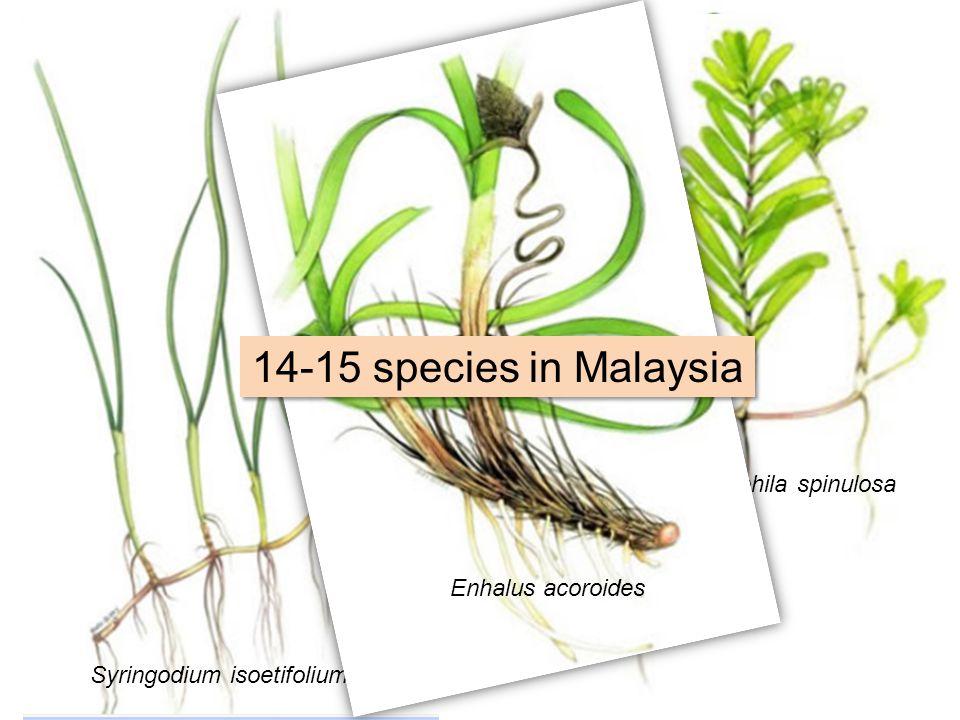 Halophila ovalis Halodule uninervis Cymodocea serrulata Thalassia hemprichii Syringodium isoetifolium Halophila spinulosa Enhalus acoroides 14-15 species in Malaysia