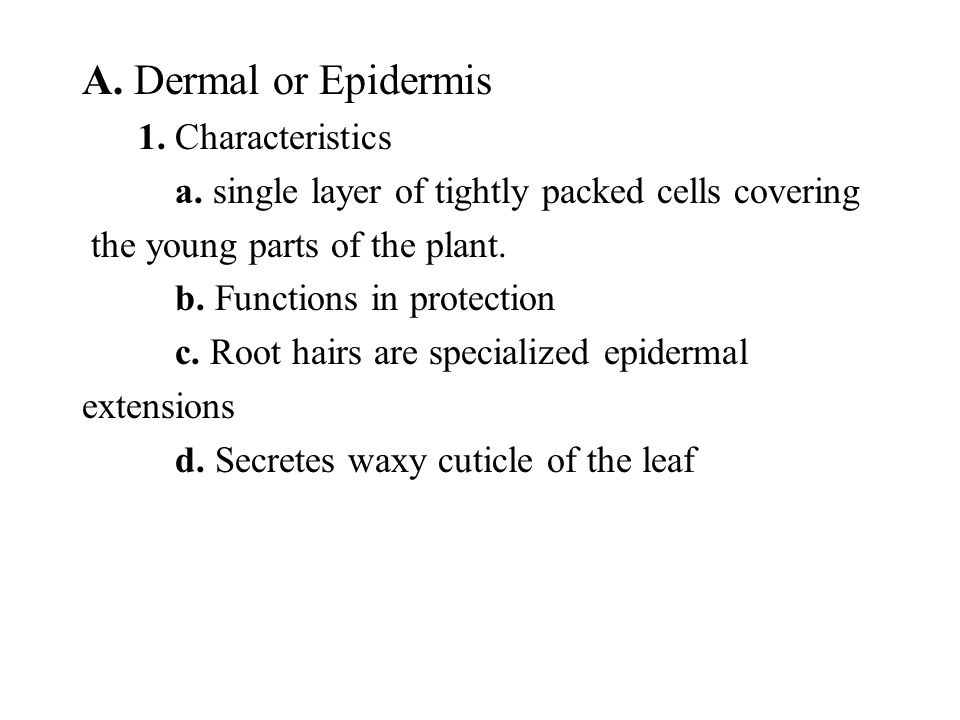 A. Dermal or Epidermis 1. Characteristics a. single layer of tightly packed cells covering the young parts of the plant. b. Functions in protection c.