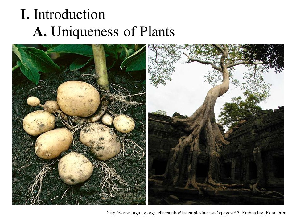 http://www.fugu-sg.org/~elia/cambodia/templesfacesweb/pages/A3_Embracing_Roots.htm I. Introduction A. Uniqueness of Plants
