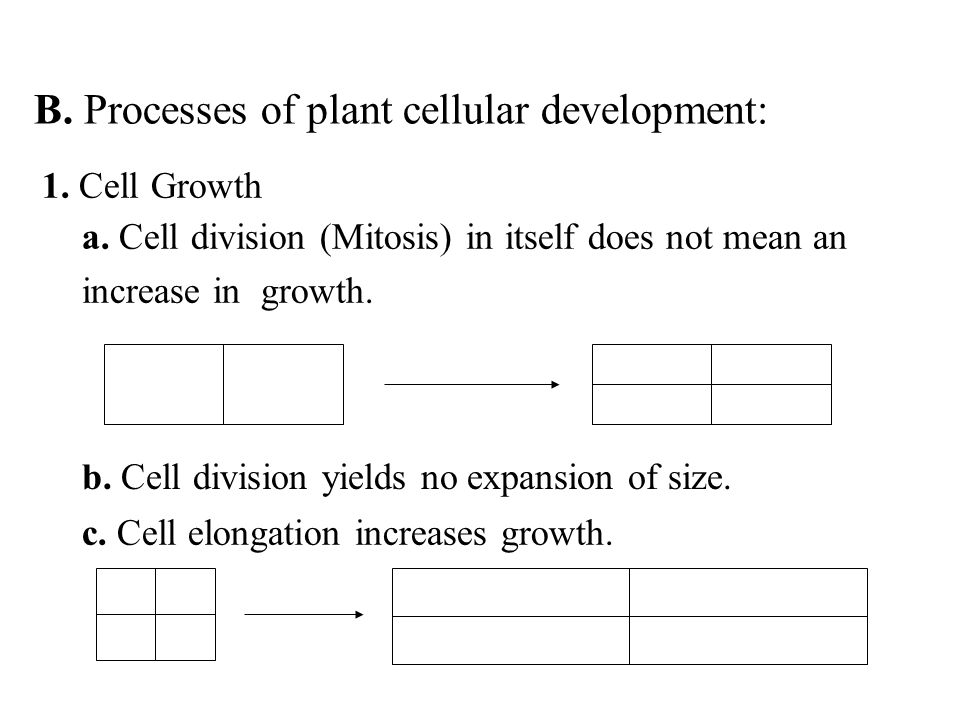 a. Cell division (Mitosis) in itself does not mean an increase in growth. c. Cell elongation increases growth. b. Cell division yields no expansion of
