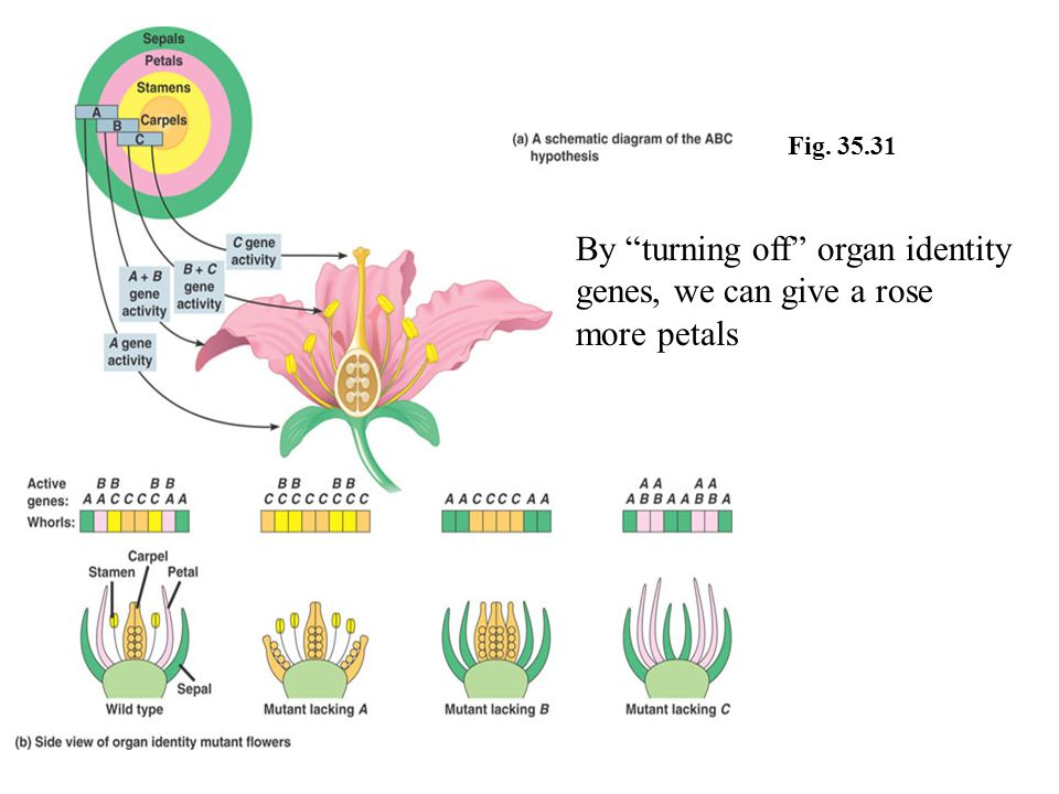 """Fig. 35.31 By """"turning off"""" organ identity genes, we can give a rose more petals"""