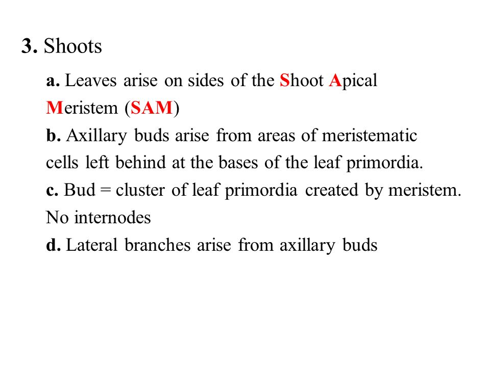 3. Shoots a. Leaves arise on sides of the Shoot Apical Meristem (SAM) b. Axillary buds arise from areas of meristematic cells left behind at the bases