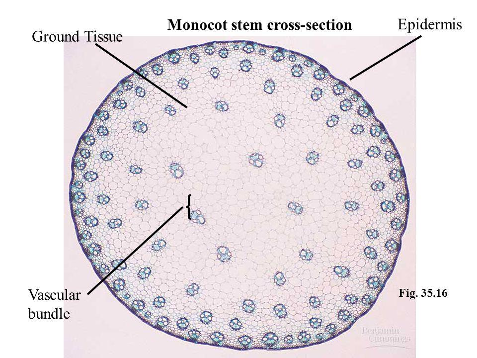 Fig. 35.16 Ground Tissue Epidermis Vascular bundle Monocot stem cross-section