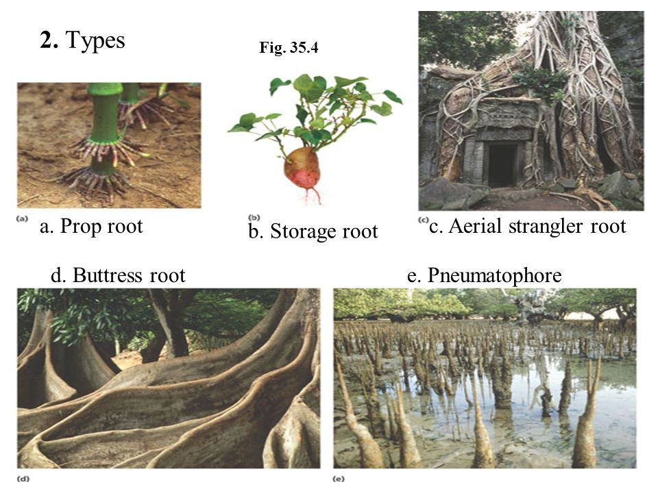 2. Types b. Storage root a. Prop rootc. Aerial strangler root d. Buttress roote. Pneumatophore Fig. 35.4