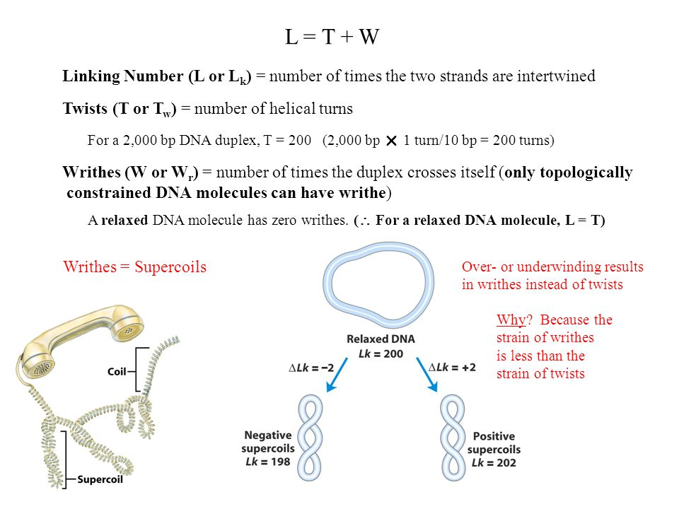 Linking Number (L or L k ) = number of times the two strands are intertwined Twists (T or T w ) = number of helical turns Writhes (W or W r ) = number of times the duplex crosses itself (only topologically constrained DNA molecules can have writhe) L = T + W For a 2,000 bp DNA duplex, T = 200 (2,000 bp  1 turn/10 bp = 200 turns) A relaxed DNA molecule has zero writhes.