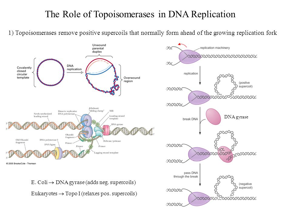 The Role of Topoisomerases in DNA Replication 1) Topoisomerases remove positive supercoils that normally form ahead of the growing replication fork DNA gyrase E.