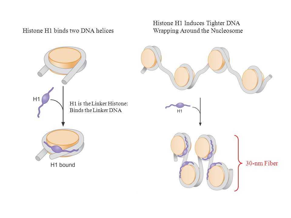 30-nm Fiber Histone H1 binds two DNA helices Histone H1 Induces Tighter DNA Wrapping Around the Nucleosome H1 is the Linker Histone: Binds the Linker DNA