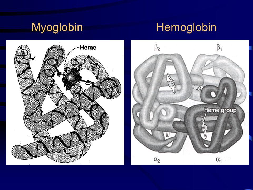 Myoglobin  Hemoglobin