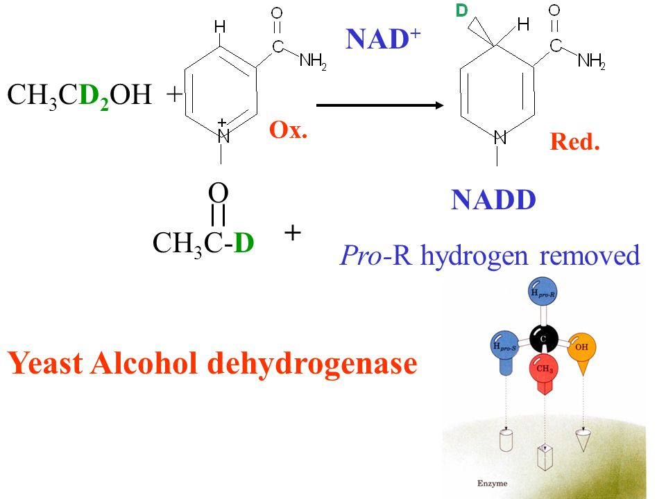 CH 3 CD 2 OH + CH 3 C-D O + Pro-R hydrogen removed Ox. Red. NADD NAD + Yeast Alcohol dehydrogenase