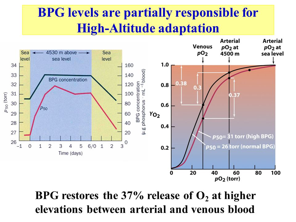 BPG levels are partially responsible for High-Altitude adaptation BPG restores the 37% release of O 2 at higher elevations between arterial and venous blood