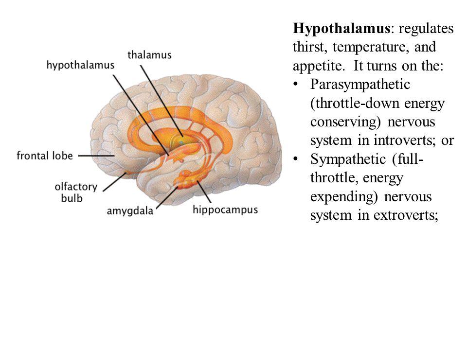 Hypothalamus: regulates thirst, temperature, and appetite.