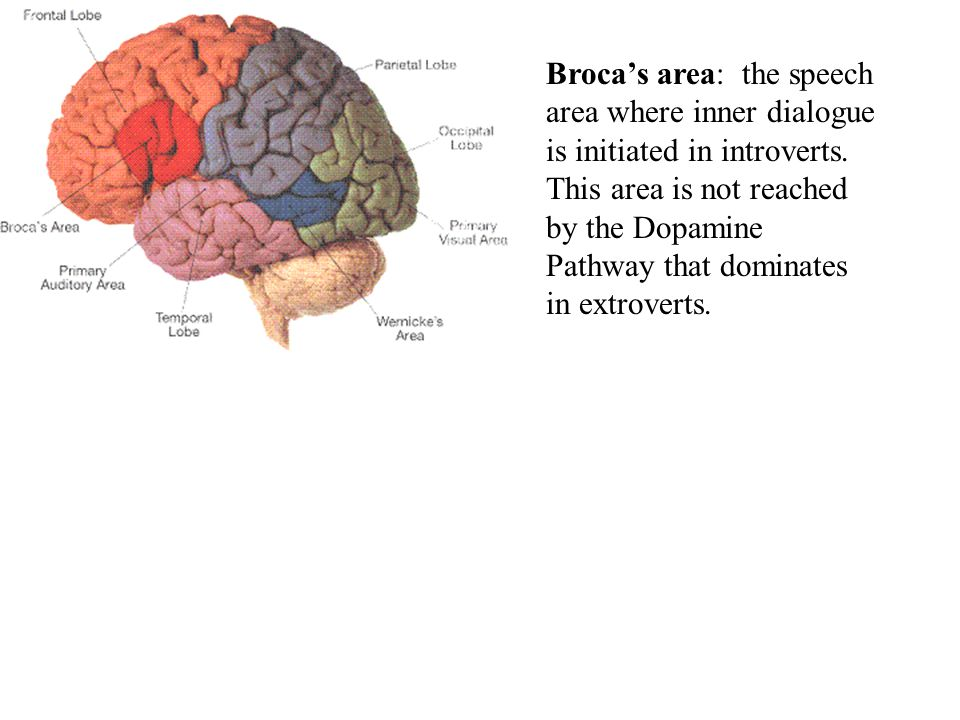 Broca's area: the speech area where inner dialogue is initiated in introverts.