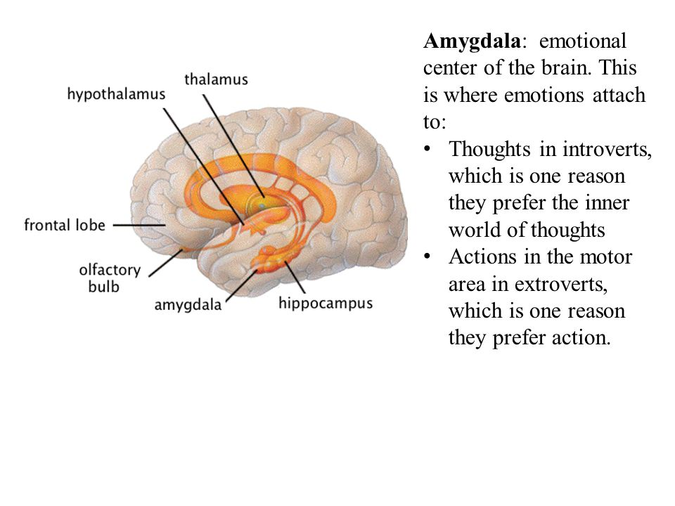 Amygdala: emotional center of the brain. This is where emotions attach to: Thoughts in introverts, which is one reason they prefer the inner world of