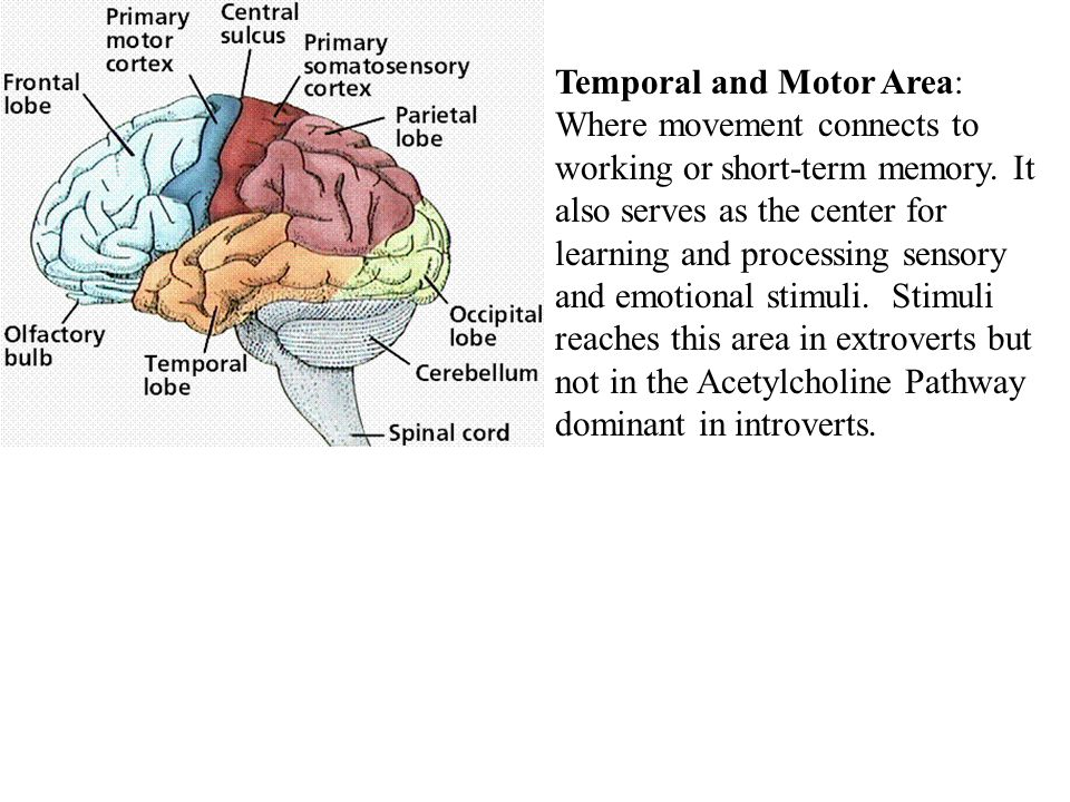 Temporal and Motor Area: Where movement connects to working or short-term memory.