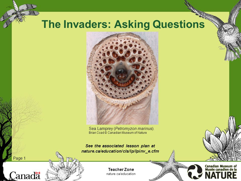 The Invaders: Asking Questions Page 1 Teacher Zone nature.ca/education See the associated lesson plan at nature.ca/education/cls/lp/lpinv_e.cfm Sea Lamprey (Petromyzon marinus).