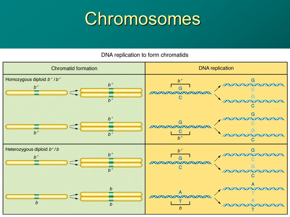 Chromosomes Structures that contain the DNA for proper distribution of the genetic material during cell division