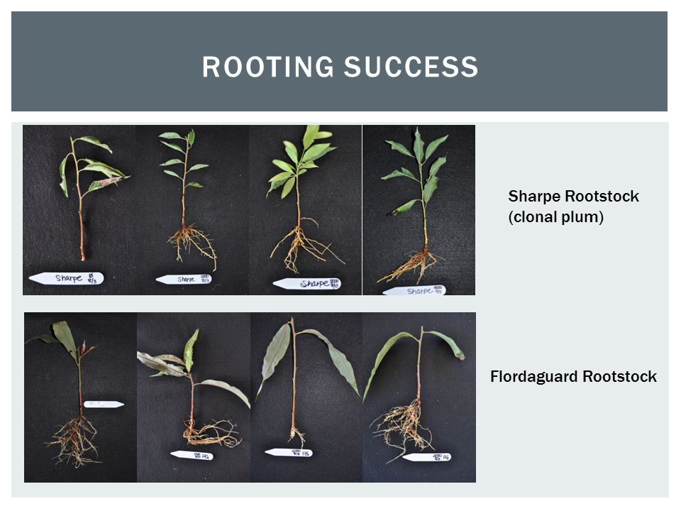 ROOTING SUCCESS Sharpe Rootstock (clonal plum) Flordaguard Rootstock