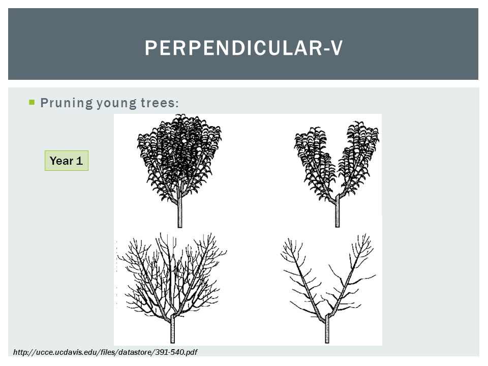  Pruning young trees: PERPENDICULAR-V Year 1 http://ucce.ucdavis.edu/files/datastore/391-540.pdf