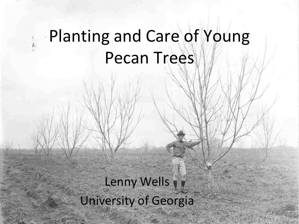 Planting and Care of Young Pecan Trees Lenny Wells University of Georgia